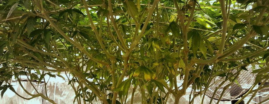 Scrog-Methode Og Kush Cannabis wächst