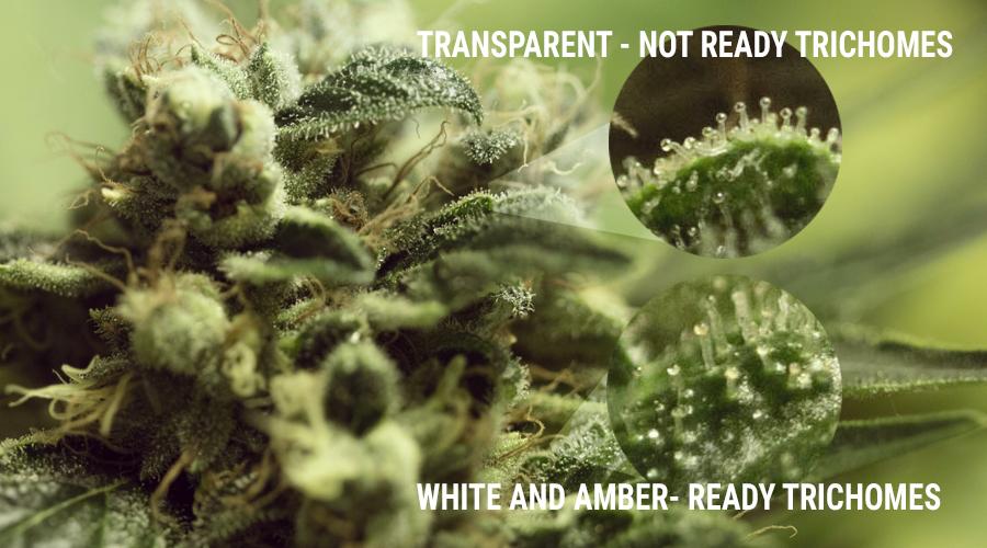 Trichome Anbau Pilze Marihuana uv Licht Kelch Knospe Cannabis