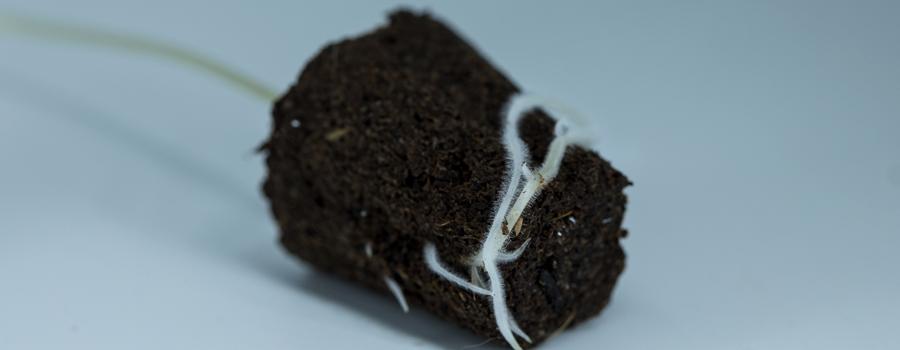 Wurzeln Nährstoffe atmen Cannabis Pflanze