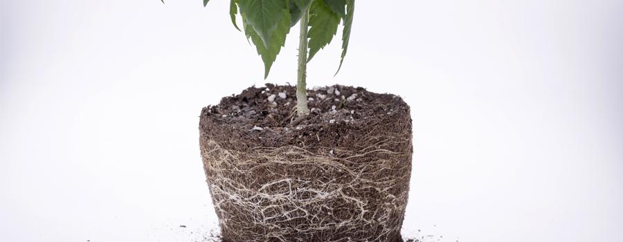 Wurzeln Cannabis Nährstoffe Futter Drainage Sauerstoff Pflanzen