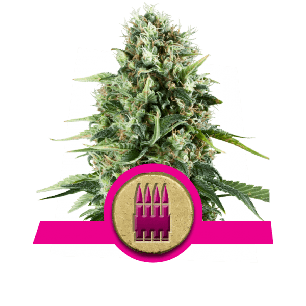 https://www.royalqueenseeds.de/221-royal-ak.html