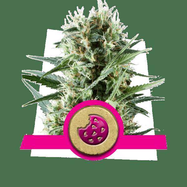 Royal Cookies Dopamin Ebenen Kreativität Cannabis Stämme Erhöhung Frontallappen Korrelativität Studie divergent Denken Neuheit-Suche