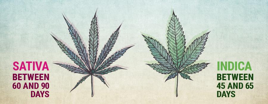 Vegetatives Wachstum sativa und indica