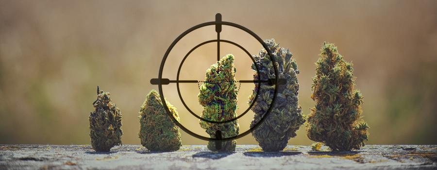DNA-Stress Jäger Cannabis Landrace Indien Pakistan Kush Afghanistan Afrika Jamaika