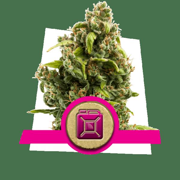 Sour Diesel Dopamin Ebenen Kreativität Cannabis Stämme Erhöhung Frontallappen Korrelativität Studie divergent Denken Neuheit-Suche