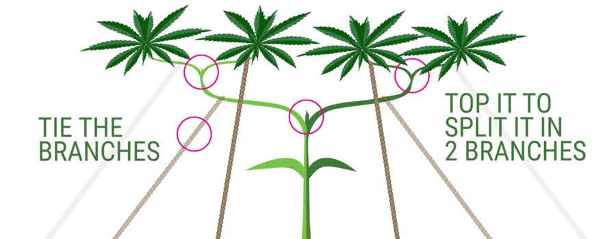 main-lining  Cannabis Anbau