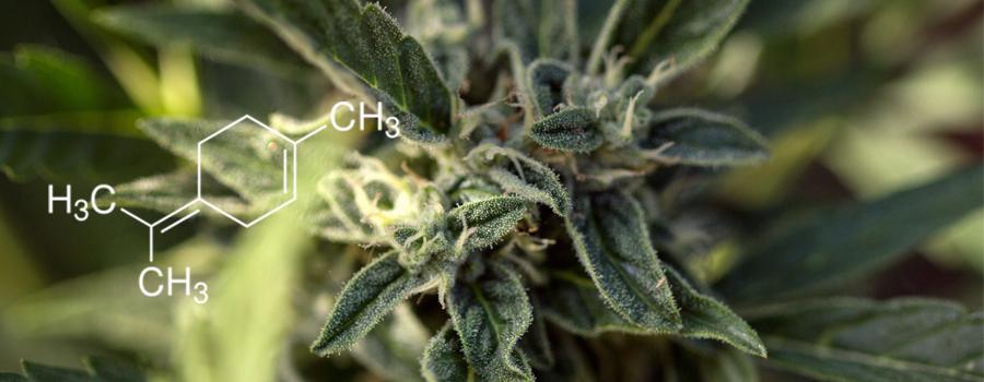Terpinolen-Terpen-Cannabis