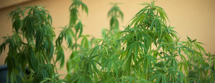 Bewässerungsprobleme Cannabis
