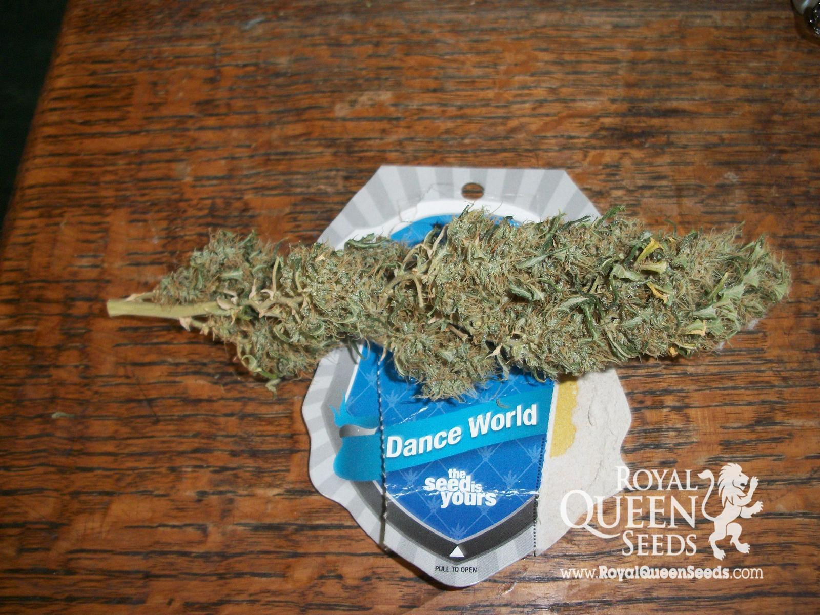 Dance World CBD Cannabissamen