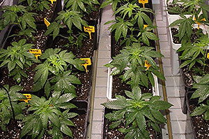 Foliar fertilizer for cannabis plants