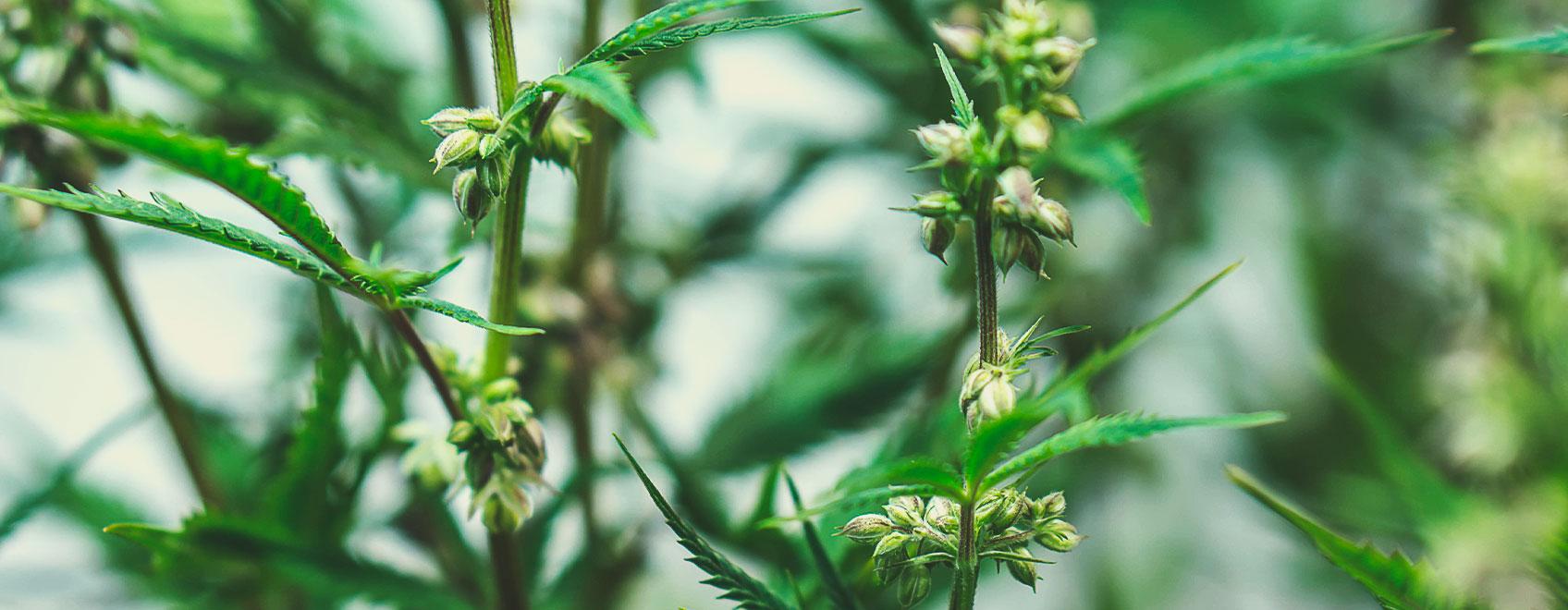 Wie medizinische Cannabissamen gezüchtet werden