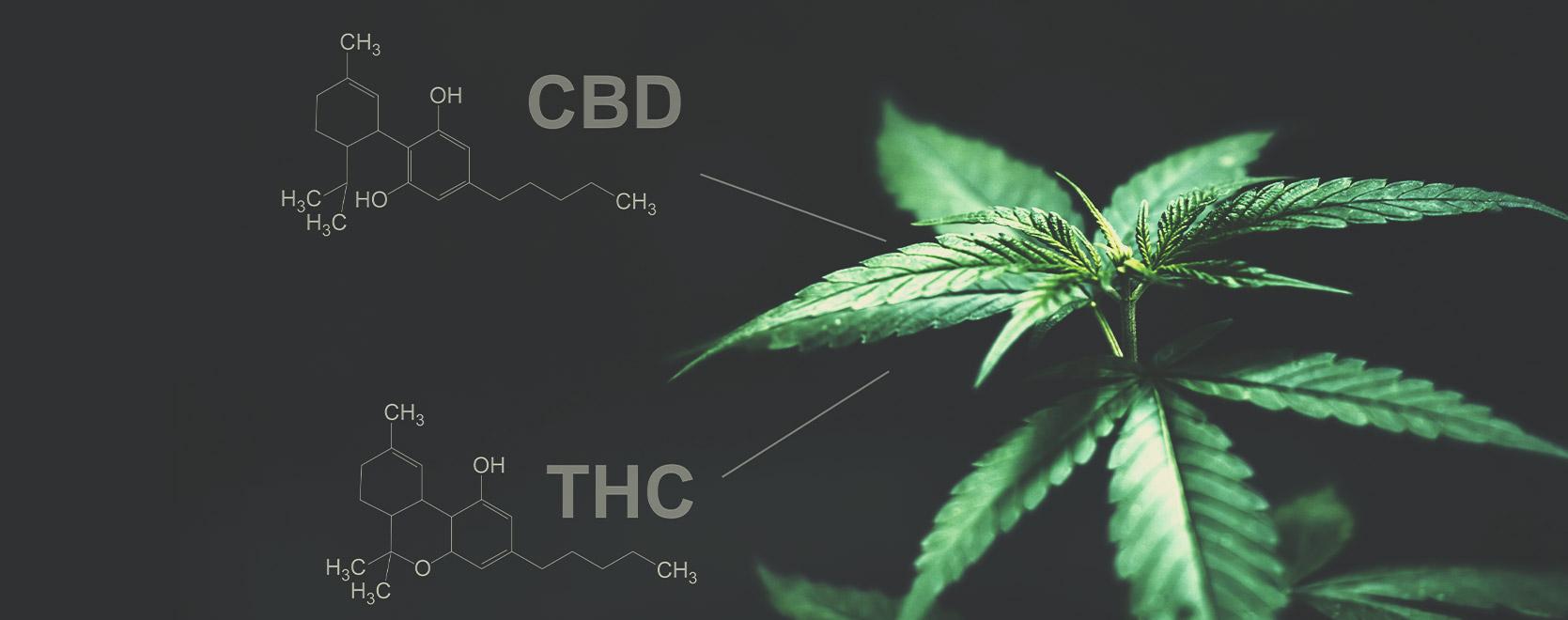 Gibt es diesbezüglich einen Unterschied zwischen THC und CBD?