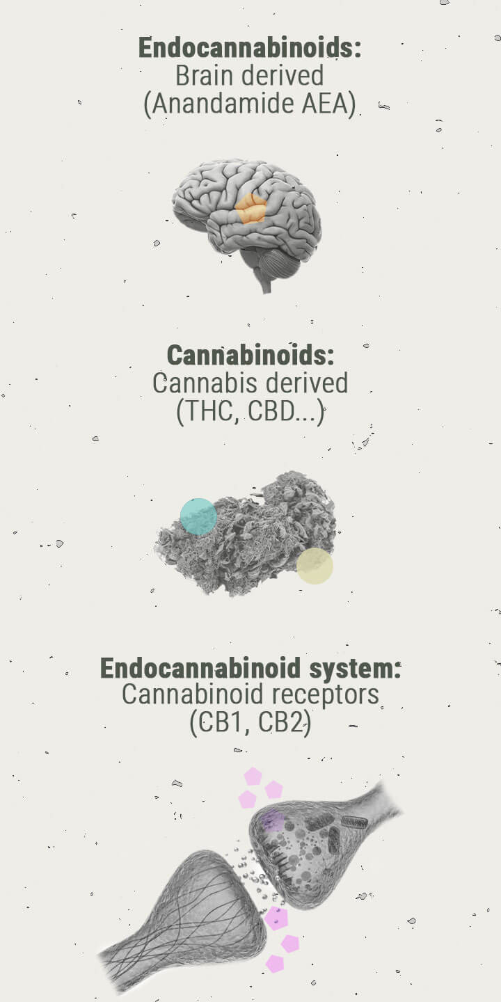 Die Chemie des Cannabis-Highs