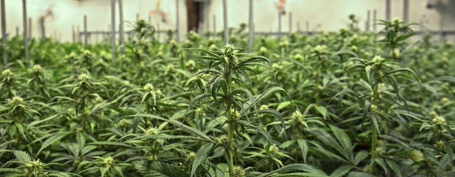 Cannabis industrializacion