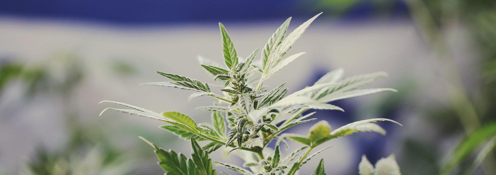 Cannabisforschung in Israel: Ein wegweisendes Modell