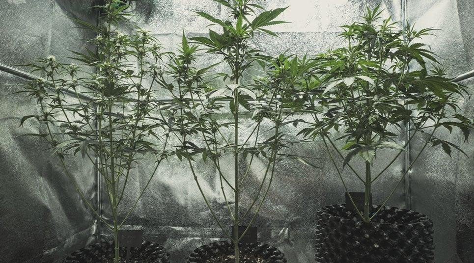 Warum wird meine Cannabispflanze groß und dünn?