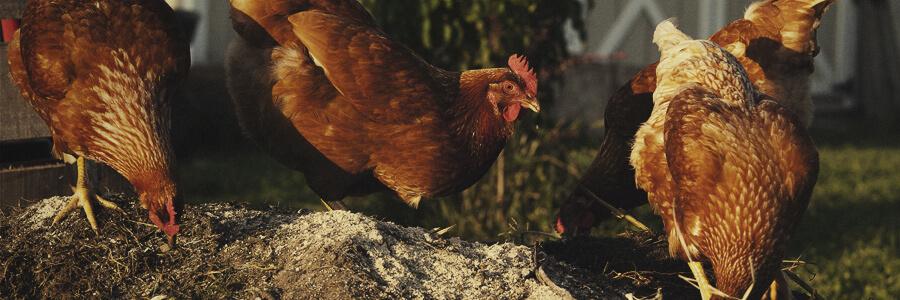 Hühnerorganischer Kompost