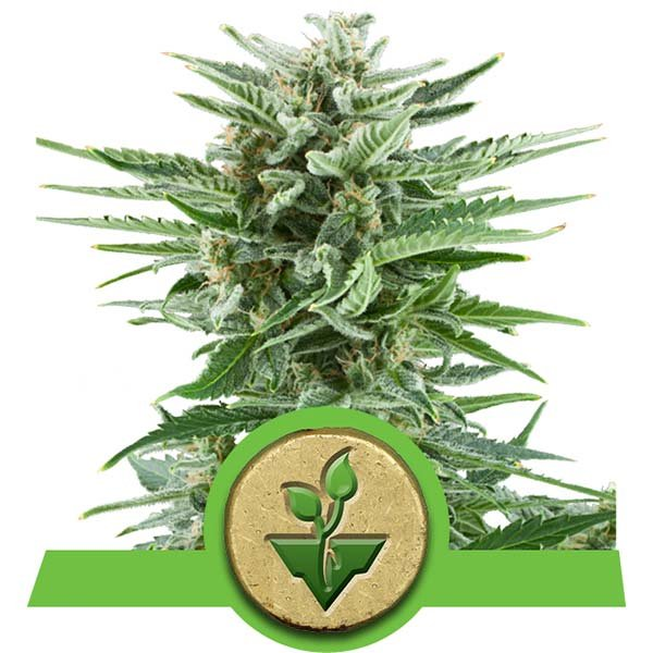 Easy Bud royal queen seeds autoflowering strain