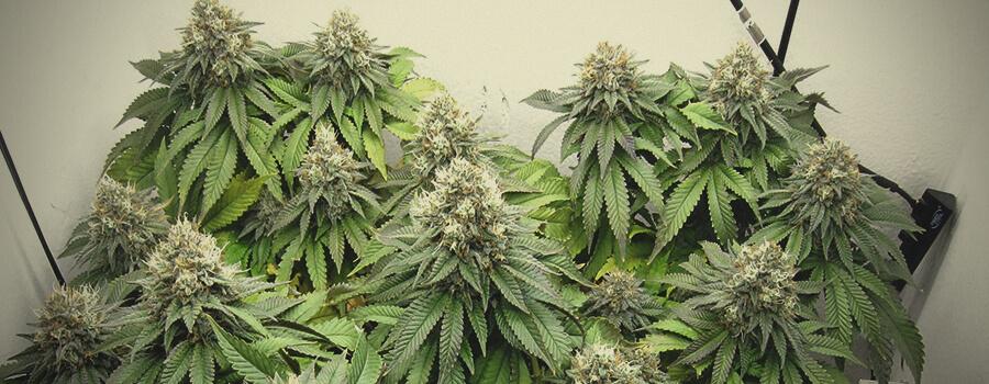 Euphoria CBD Marihuanasamen