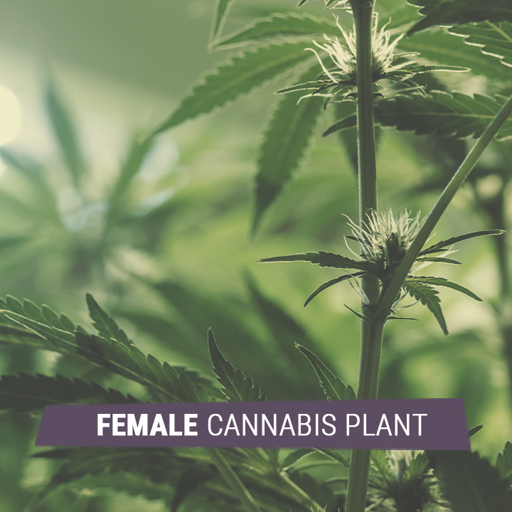 FEMALE CANNABIS