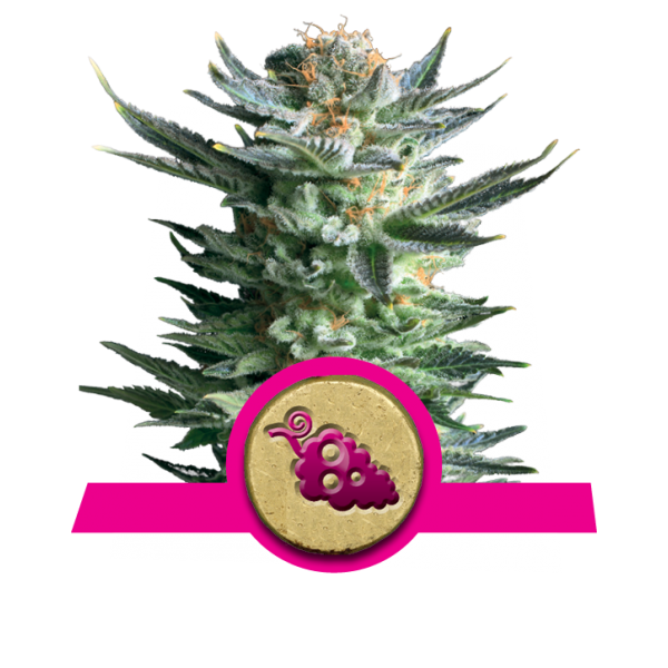 fruit spirit royal queen seeds