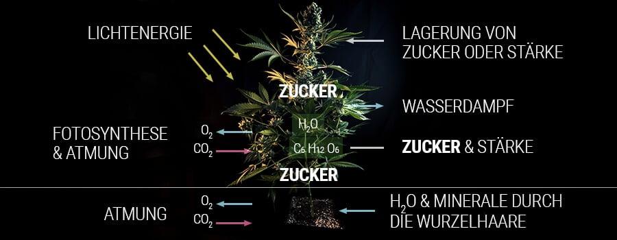 Wie eine Cannabispflanze Zucker produziert