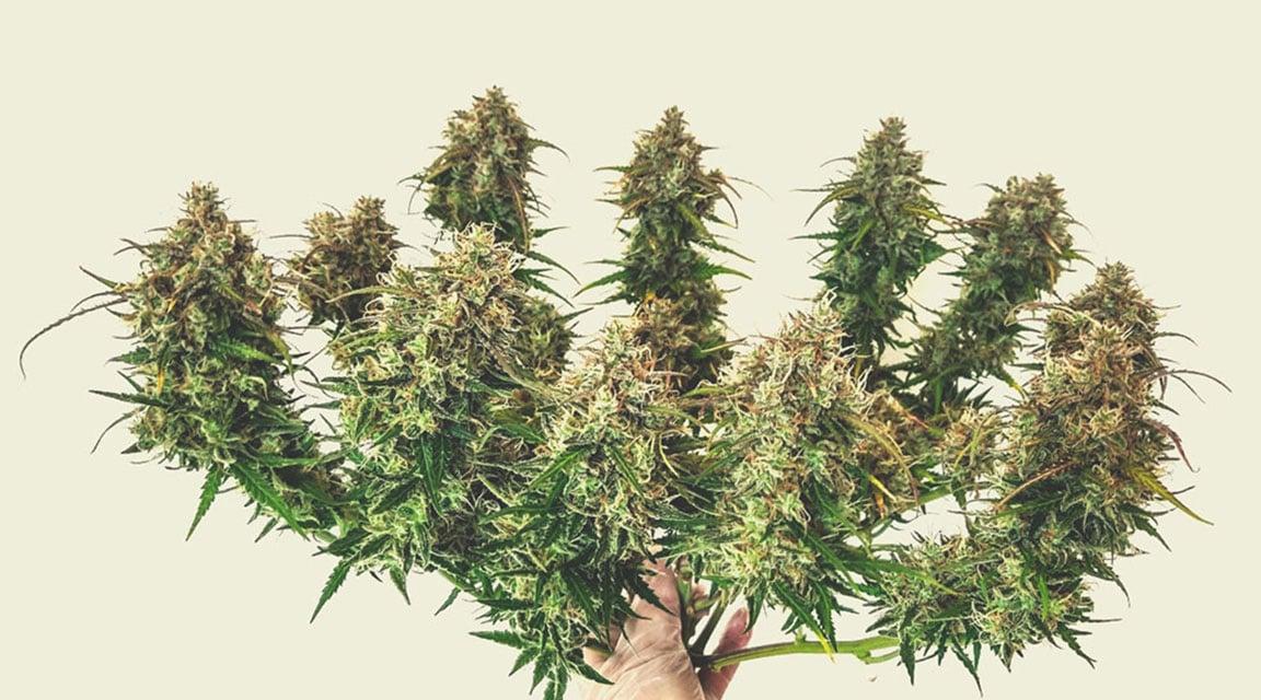 Schätzung des Ertrags von autoflowering Pflanzen