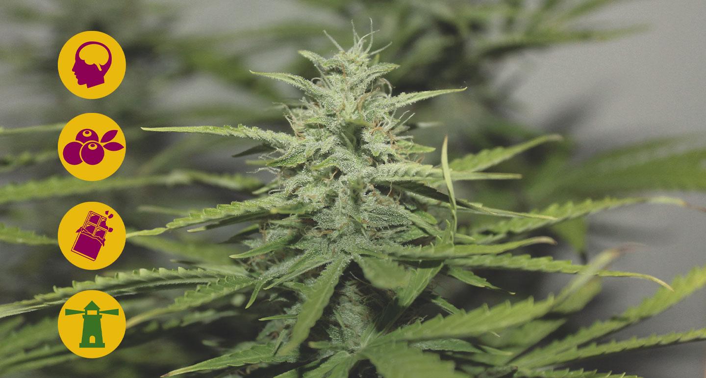 Die besten Haze-Cannabissorten