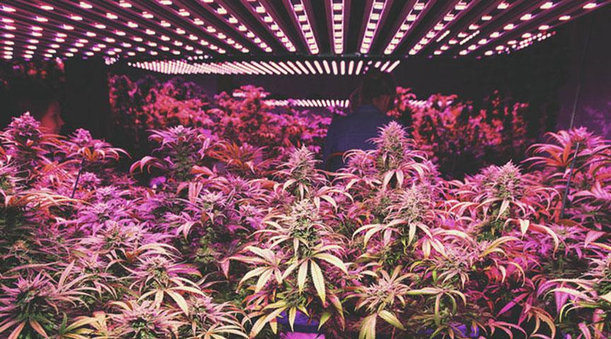 Der Aufschwung des Cannabisanbaus in Einrichtungen mit Umweltkontrolle
