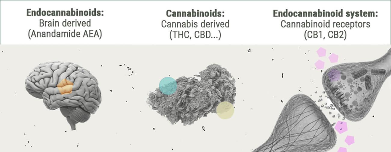 Die Chemie des Cannabis-Highs