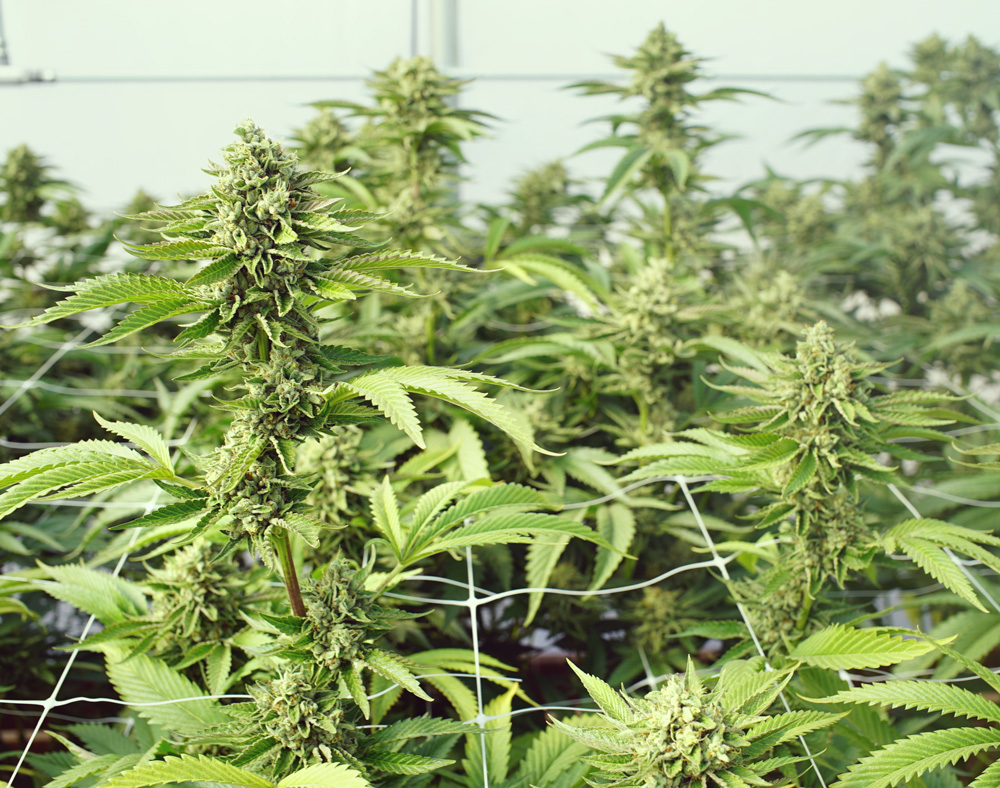 Topping-Bildschirm der grünen Low-Stress-Training Cannabis-Technik