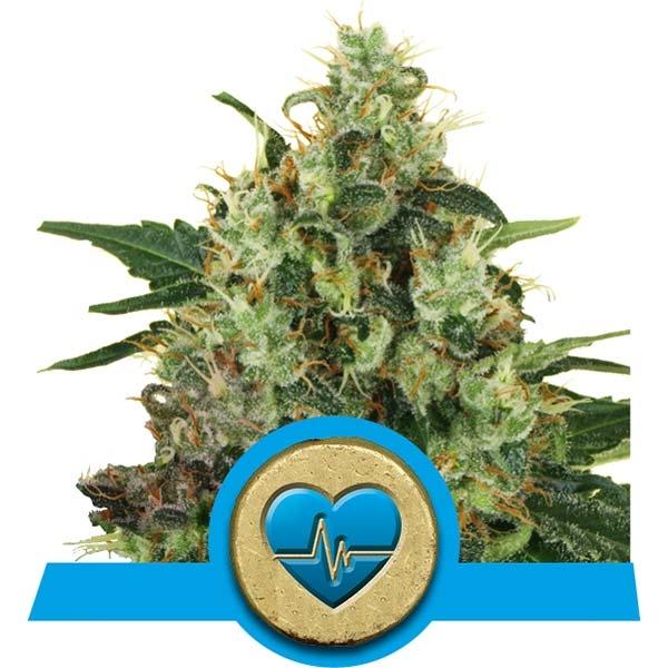 Medical Mass Fast Flowering Royal Queen Seeds CBD