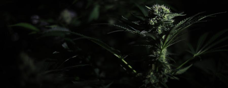 Cannabis Indica Strain