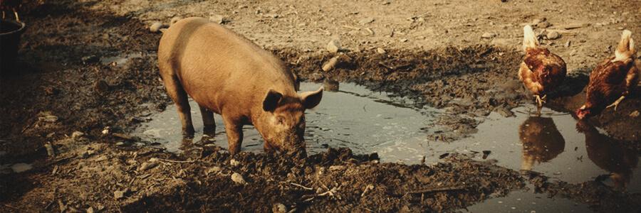 Schweineorganischer Kompost
