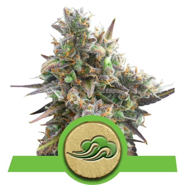 Royal Bluematic Auto Royal Queen Seeds Automatic Stamm Cannabis