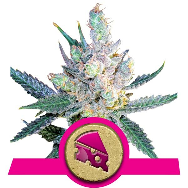 Royal Cheese Fast Flowering Royal Queen Seeds