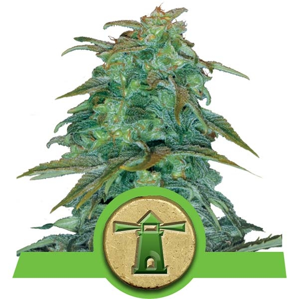 royal haze automatic seeds