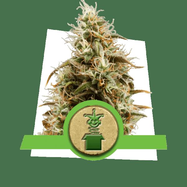 Jack Herer auto-blühende Sativa-Sorte würzig