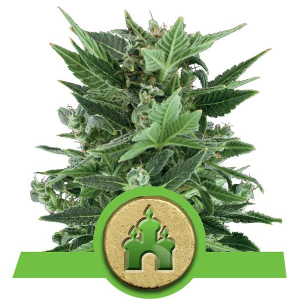 royal kush automatic seeds