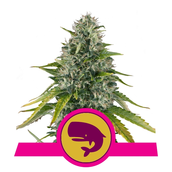 Feminized Moby Dick seeds