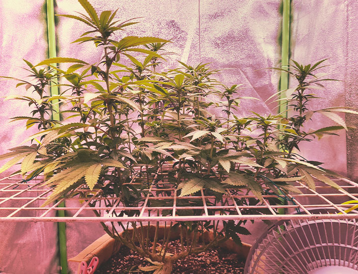 Topping and Training Autoflowering Cannabis