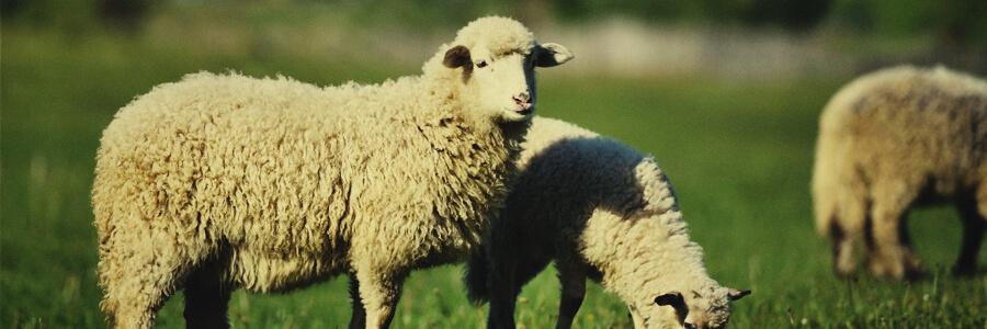 Bio-Kompost aus Schafen