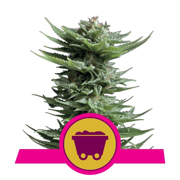Shining Silver Haze Feminized