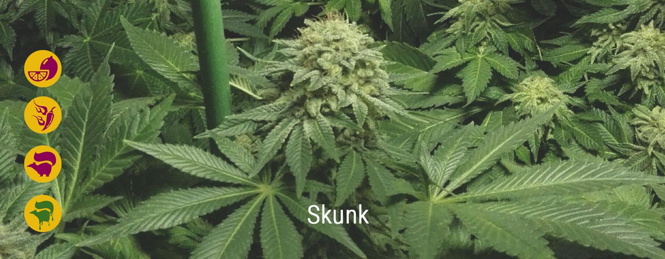 Die besten Skunk-Cannabissorten