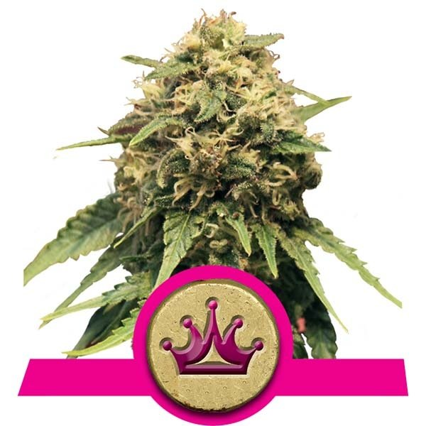Special Queen 1 Royal Queen Seeds