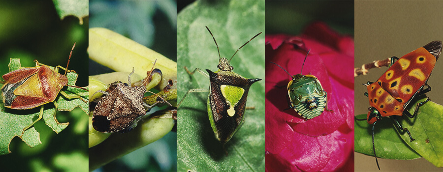 Stink Bug Cannabis