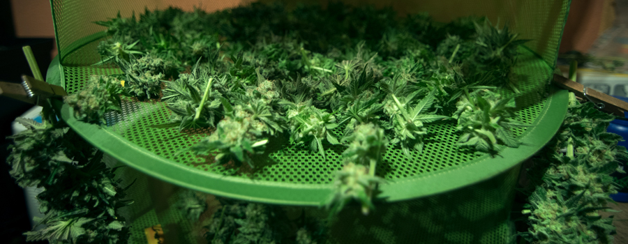 Überfüllungs-Cannabis