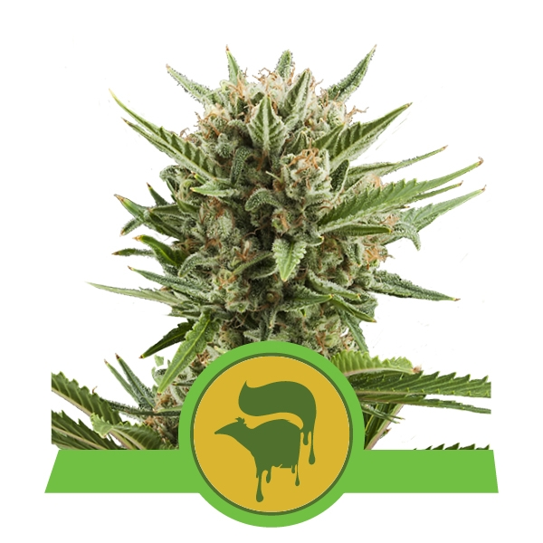 Sweet Skunk Automatic Royal Queen Seeds