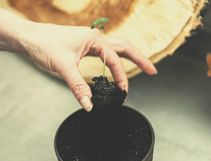 Autoflowering Cannabissamen für den Indoor-Anbau
