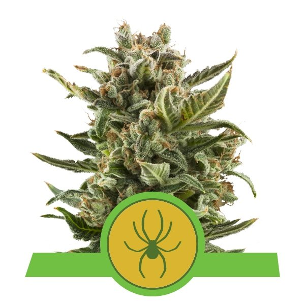 White Widow Automatic Royal Queen Seeds
